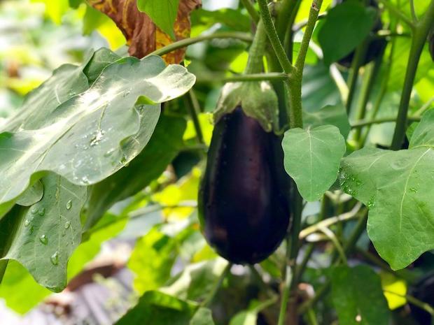 Eggplant growing in vegetable garden