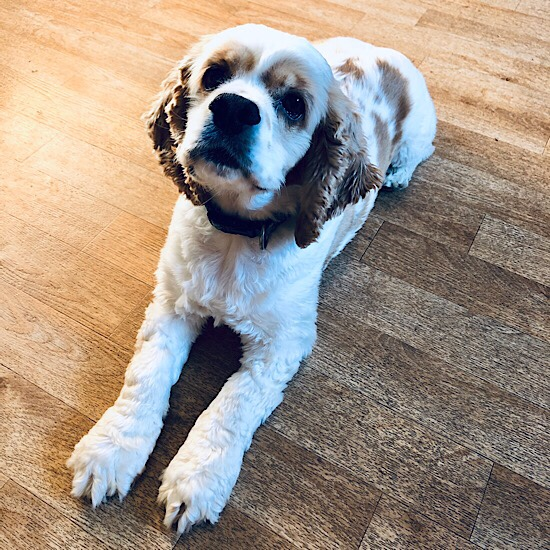 White and brown American Cocker Spaniel
