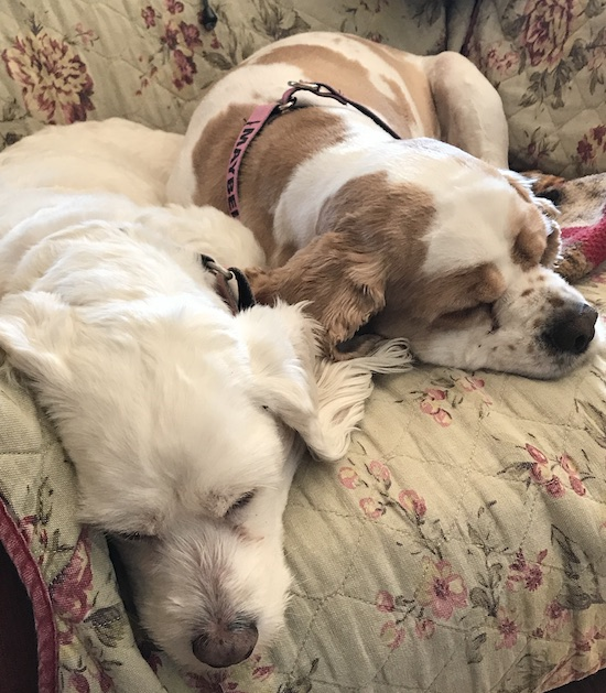 Cocker spaniels sleeping together