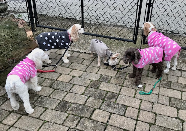 Cocker spaniels in sweaters