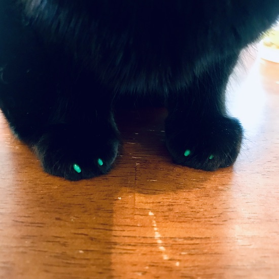 Cat with soft claws nail caps
