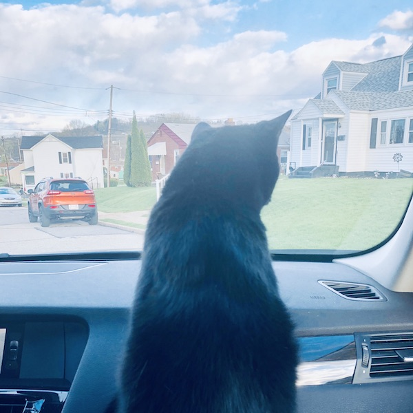 Black cat riding in the car