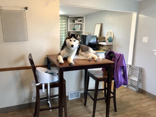 Husky sitting on kitchen table