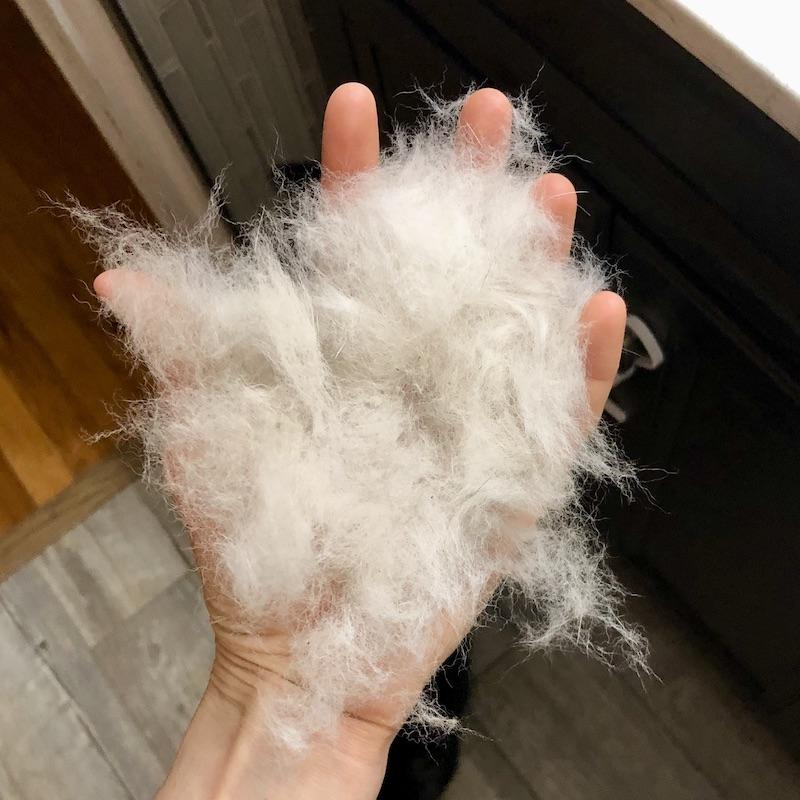 Husky shedding