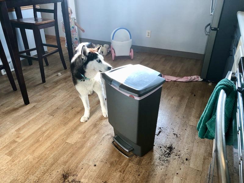 Siberian husky digging in the garbage