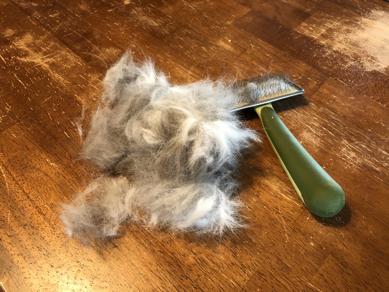 Husky shedding when blowing coat