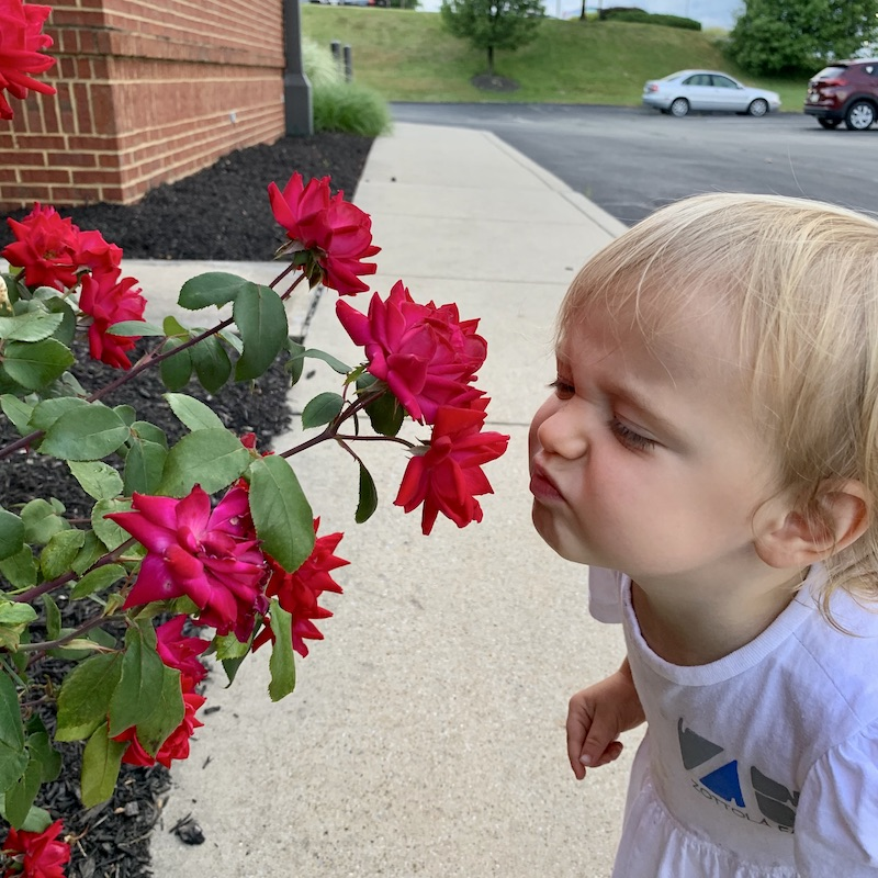 Toddler smelling roses