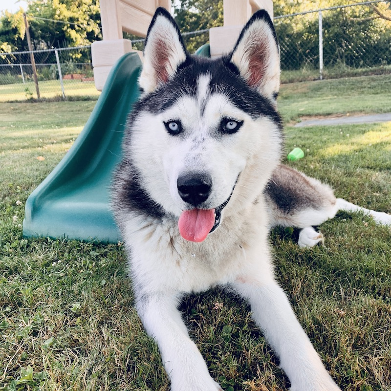 Black and white Siberian Husky with blue eyes sitting in grass