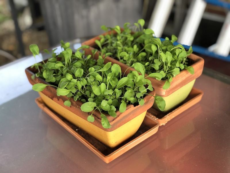 Arugula growing in pots
