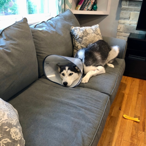 Siberian husky with cone