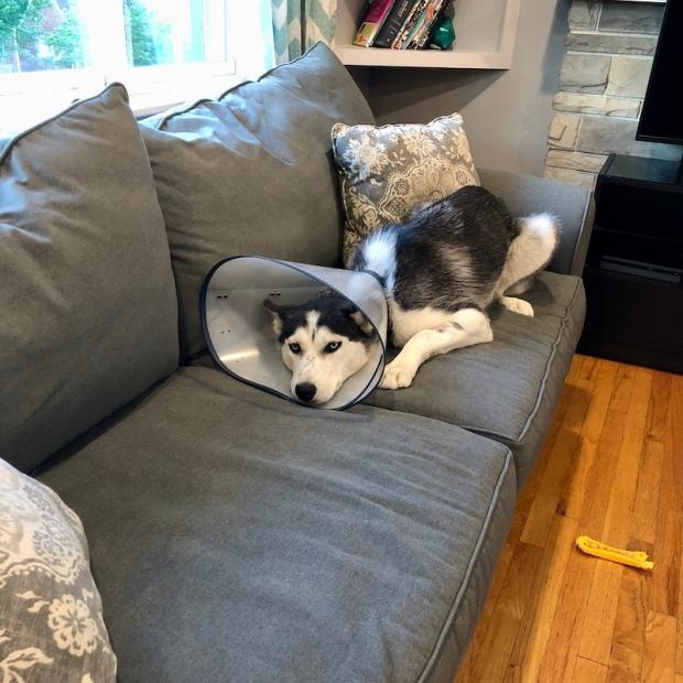Siberian husky with cone