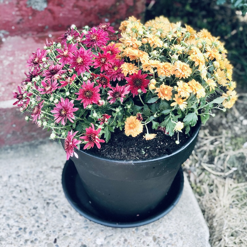 Purple and orange mums in a black planter