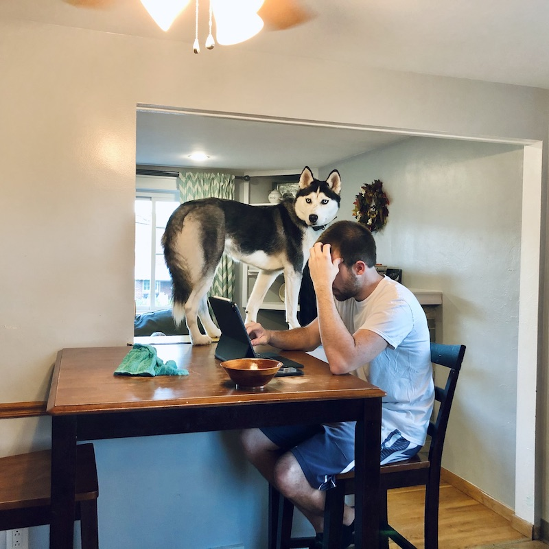 Siberian Husky on table