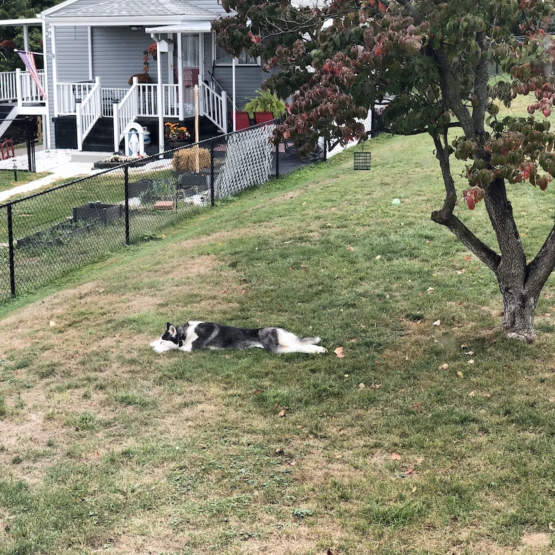 Siberian husky sleeping in yard