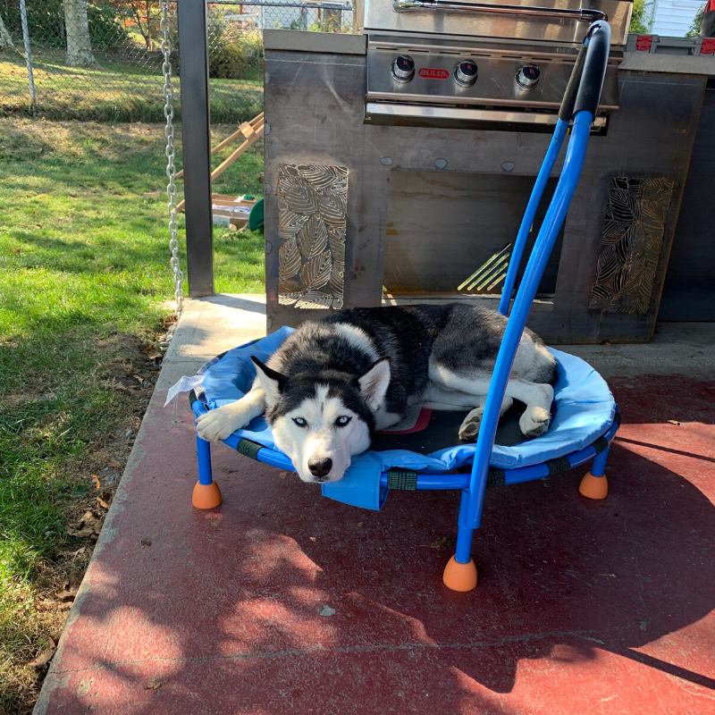 Husky laying on trampoline