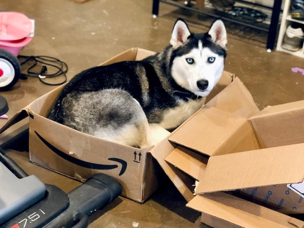 Siberian Husky sitting in Amazon box