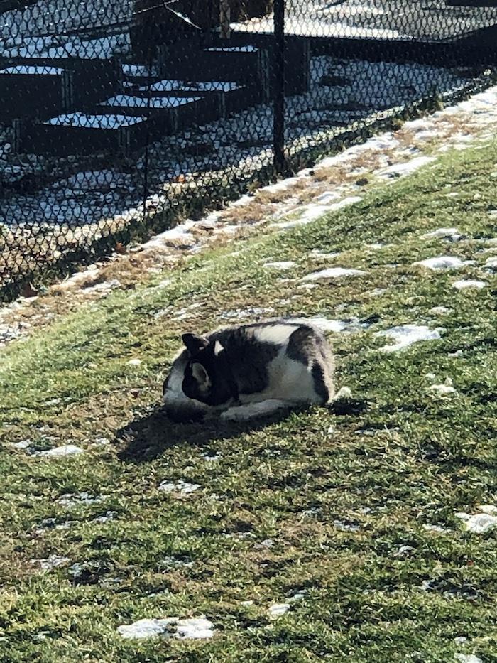 Siberian husky sleeping in snow