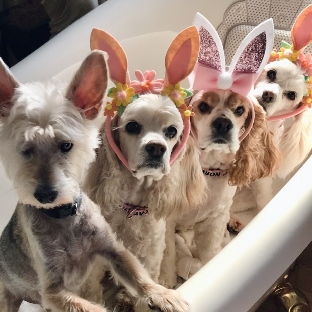 Cocker spaniels with Easter bunny ears
