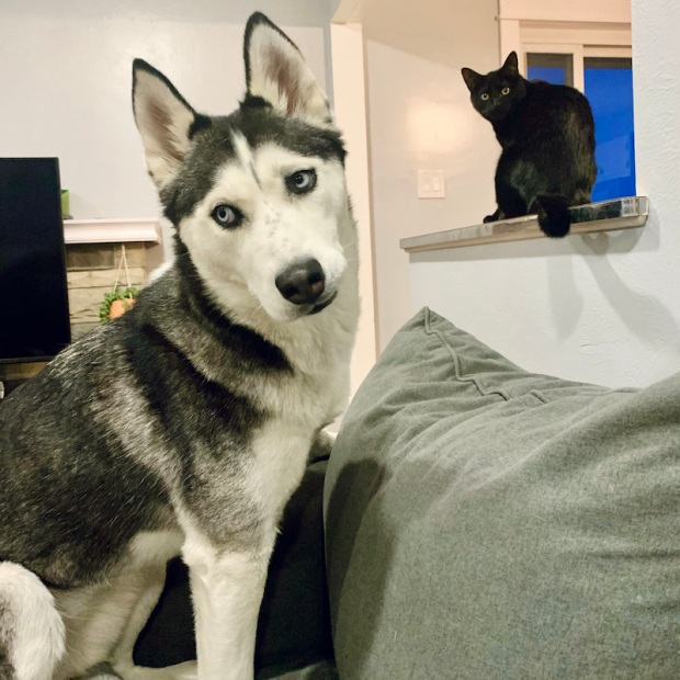 Husky and cat sitting together