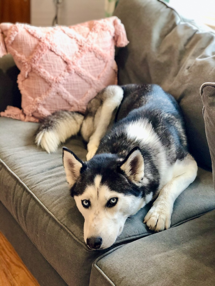 Black and white Siberian Husky with blue eyes laying on couch