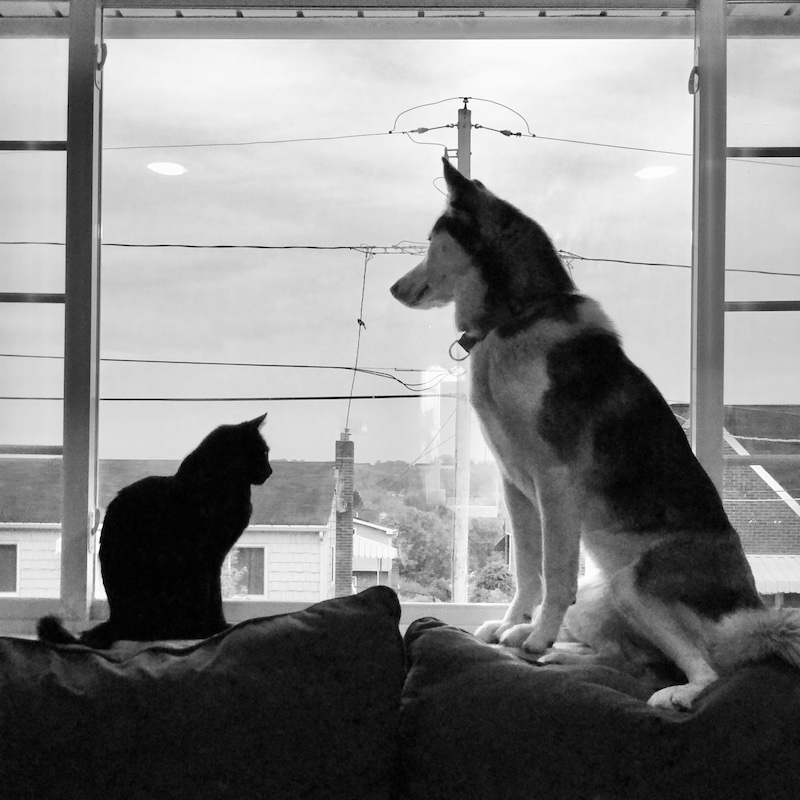 Cat and husky staring at each other