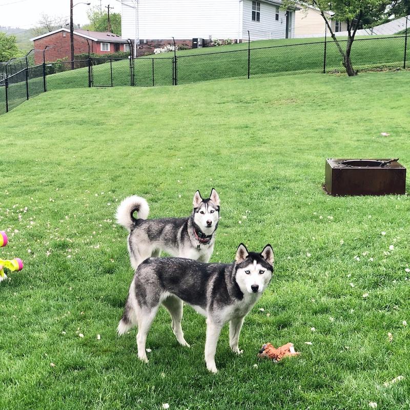 Two Siberian huskies standing in grass