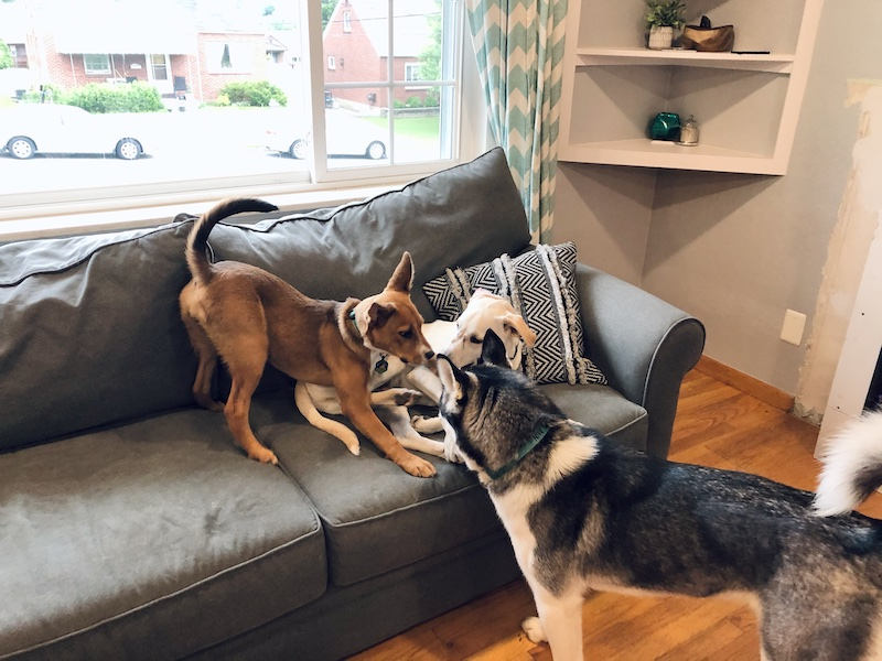 Siberian husky playing with Shepherd puppy and another dog