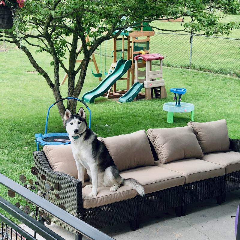 Siberian husky sitting on outdoor furniture