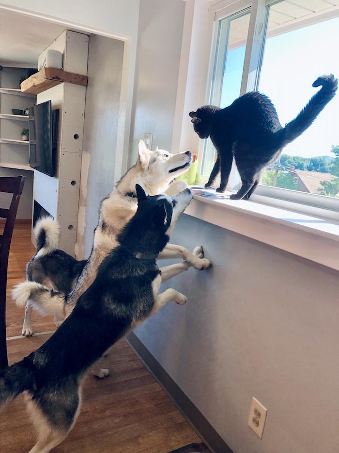 Huskies sniffing cat