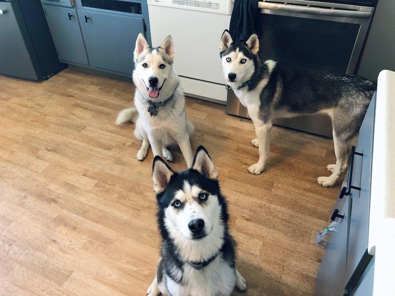 Three siberian huskies sitting in kitchen