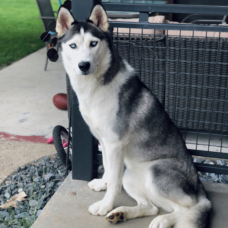 Black and white Siberian husky with blue eyes