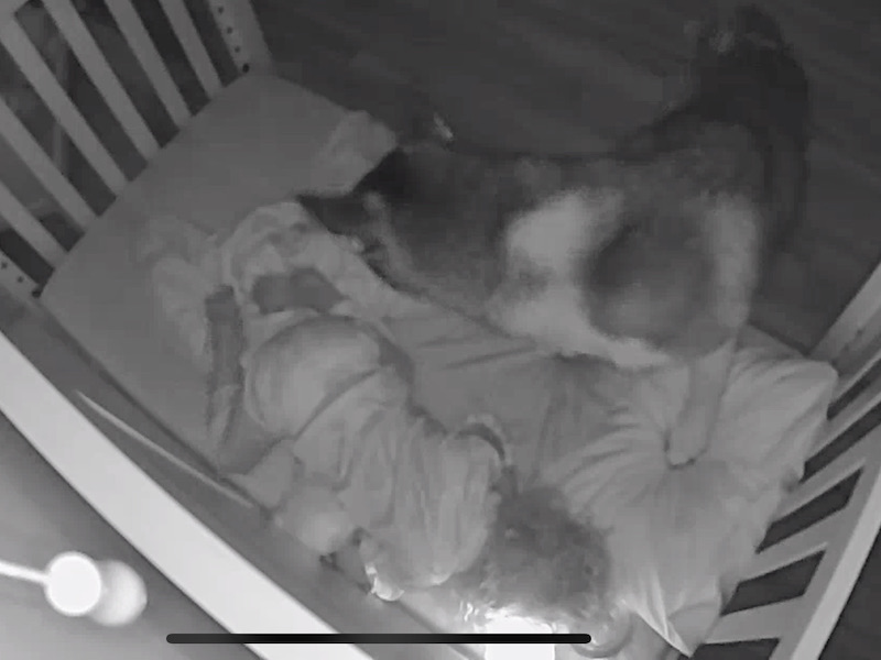 Husky and toddler in bed together
