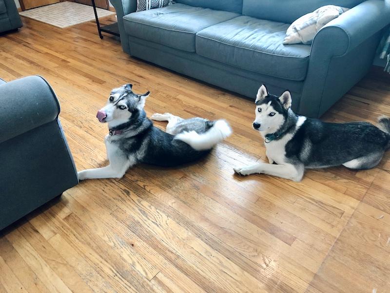 Two siberian huskies sitting on floor together
