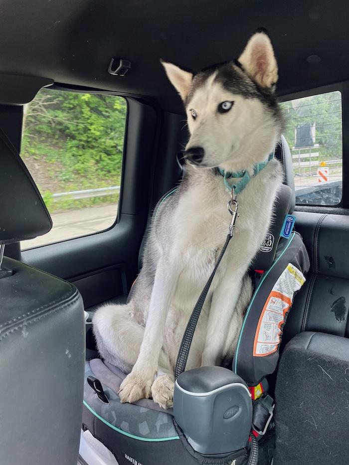 Siberian husky sitting in carseat