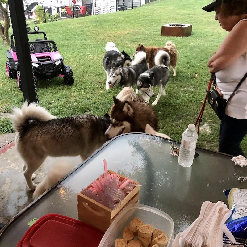 A bunch of huskies running around a yard