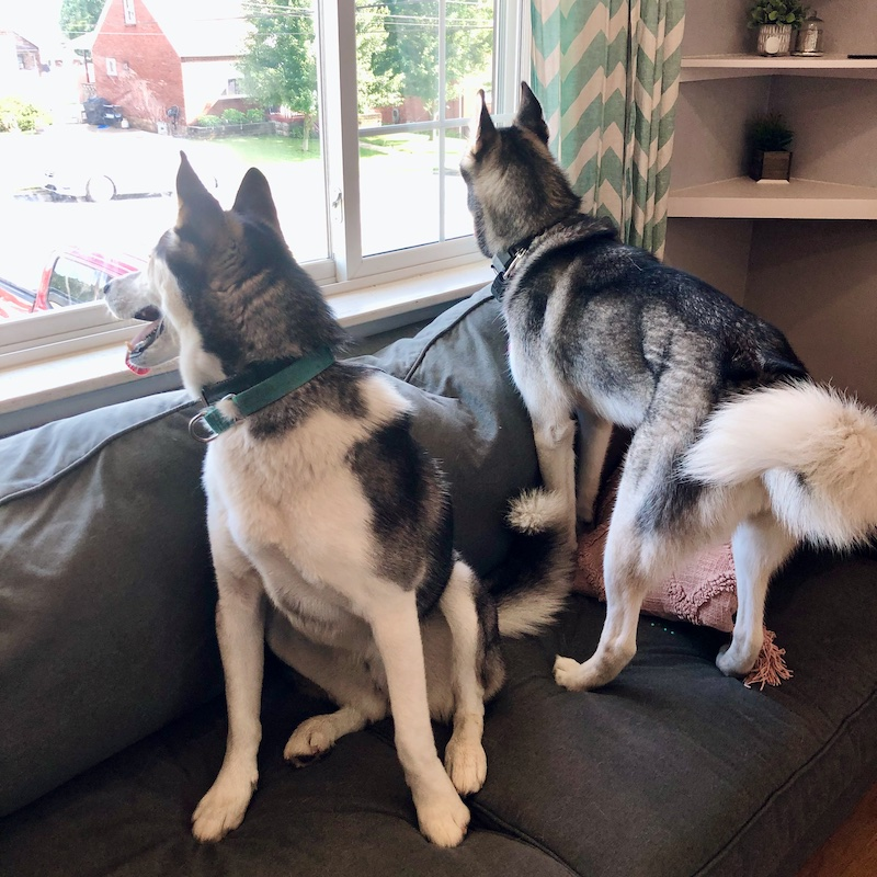 Two huskies on couch together