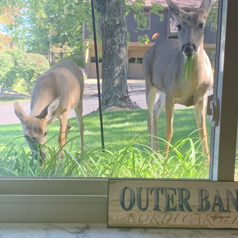 Deer coming up to window at a house in Pittsburgh to eat plants and bird seed