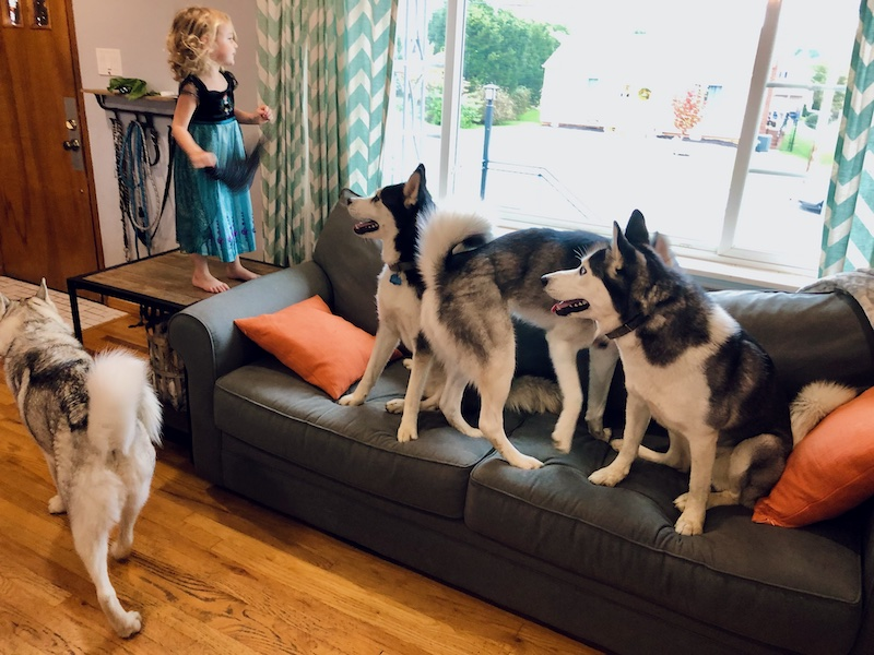 Four Siberian huskies sitting on couch